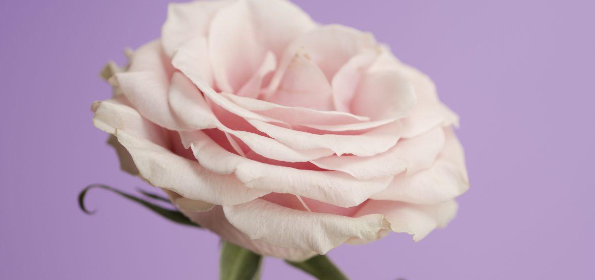 rosa freepik